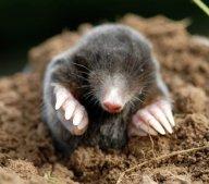 baby mole