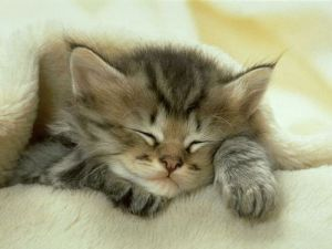 sleeping cat kitten